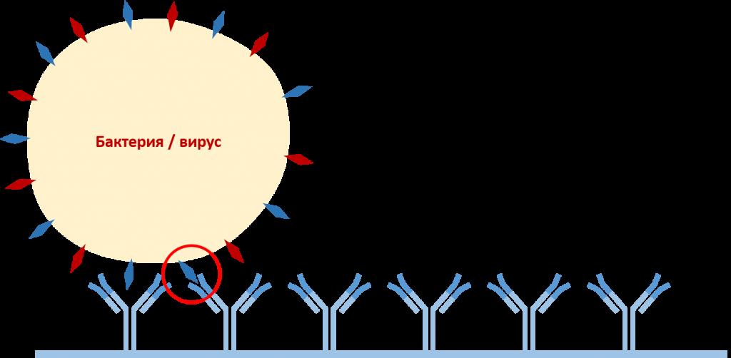 Диагностика возбудителей вирусных и бактериальных заболеваний картофеля методом ИФА