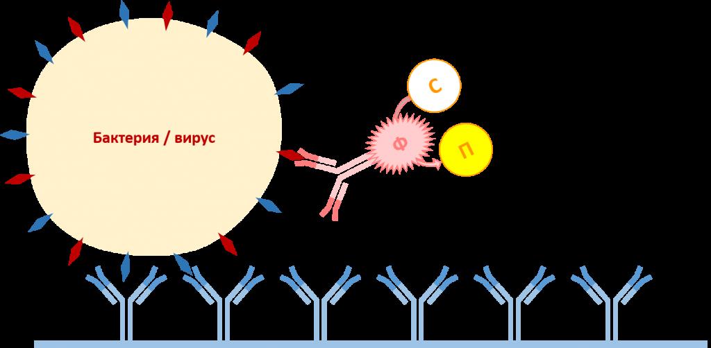 Диагностика возбудителей вирусных и бактериальных заболеваний картофеля методом иммунофепментного анализа