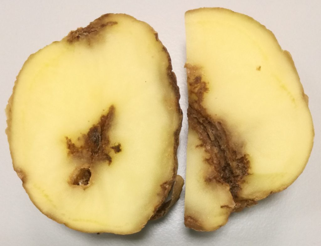Стеблевая нематода картофеля